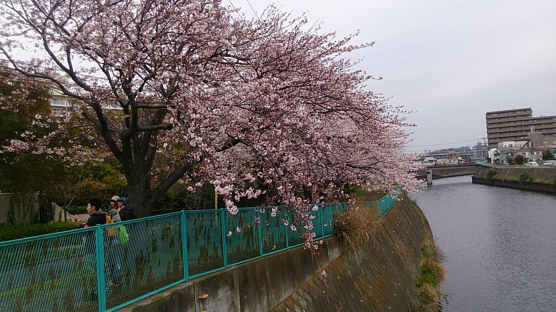 奥田橋の桜並木